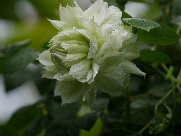 ダッチェス・オブ・エジンバラの花が増えて来た。2020年-8.jpg