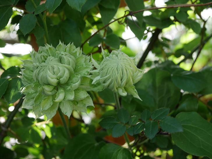 ダッチェス・オブ・エジンバラ(早咲き大輪系)の花が咲いた。2021年-001.jpg