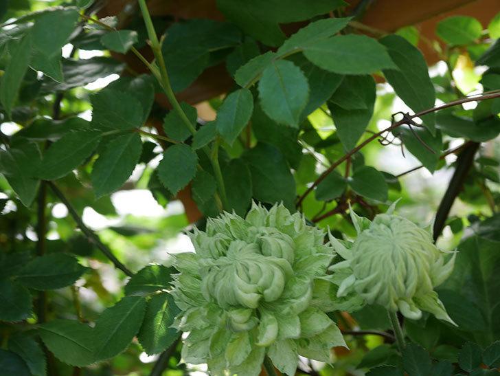 ダッチェス・オブ・エジンバラ(早咲き大輪系)の花が咲いた。2021年-002.jpg