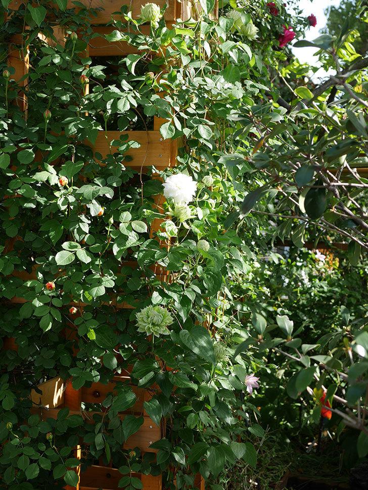 ダッチェス・オブ・エジンバラ(早咲き大輪系)の花が咲いた。2021年-003.jpg