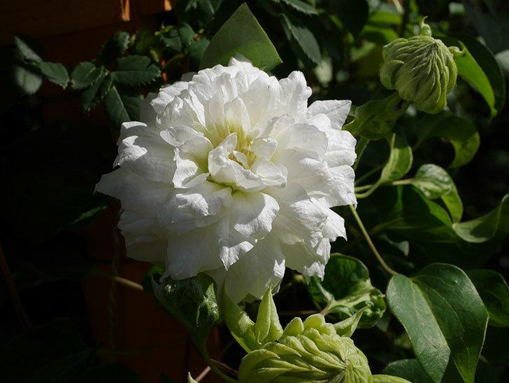 ダッチェス・オブ・エジンバラ(早咲き大輪系)の花が咲いた。2021年-006.jpg
