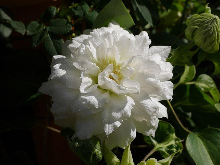 ダッチェス・オブ・エジンバラ(早咲き大輪系)の花が咲いた。2021年-007.jpg