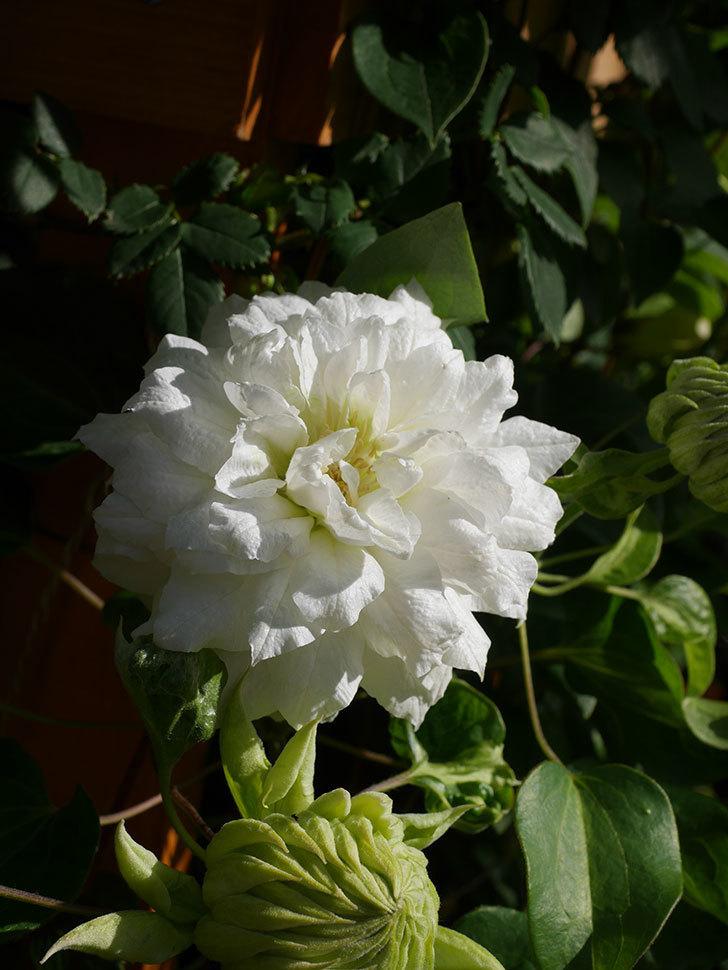 ダッチェス・オブ・エジンバラ(早咲き大輪系)の花が咲いた。2021年-008.jpg