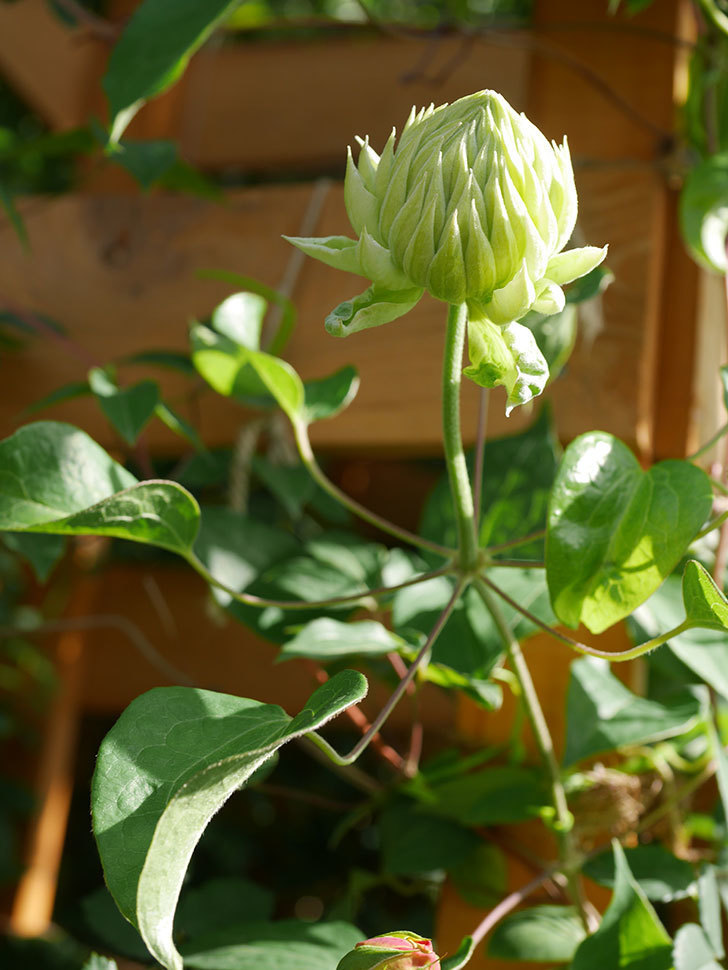 ダッチェス・オブ・エジンバラ(早咲き大輪系)の花が咲いた。2021年-009.jpg