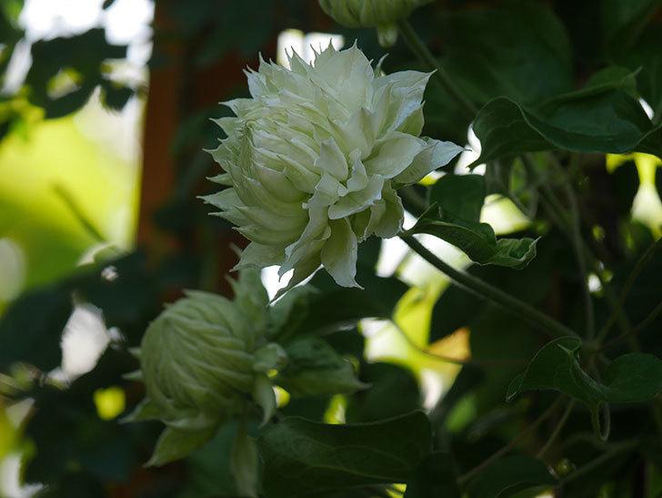 ダッチェス・オブ・エジンバラ(早咲き大輪系)の花が咲いた。2021年-010.jpg