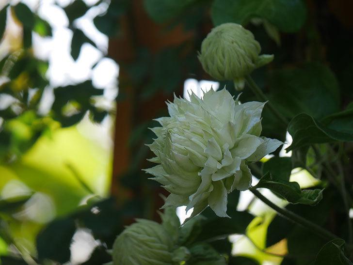 ダッチェス・オブ・エジンバラ(早咲き大輪系)の花が咲いた。2021年-011.jpg