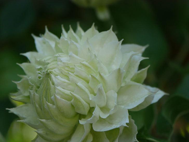 ダッチェス・オブ・エジンバラ(早咲き大輪系)の花が咲いた。2021年-013.jpg