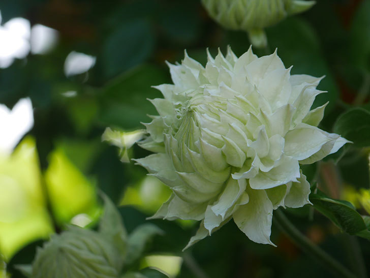 ダッチェス・オブ・エジンバラ(早咲き大輪系)の花が咲いた。2021年-014.jpg