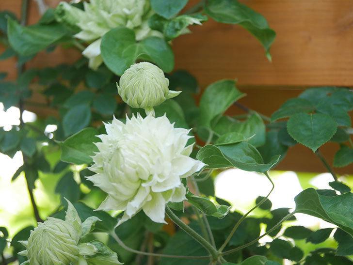 ダッチェス・オブ・エジンバラ(早咲き大輪系)の花が咲いた。2021年-015.jpg