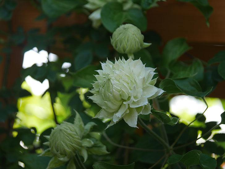 ダッチェス・オブ・エジンバラ(早咲き大輪系)の花が咲いた。2021年-016.jpg