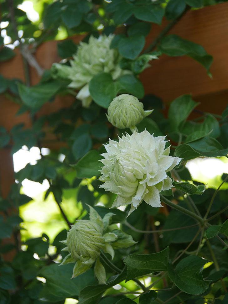 ダッチェス・オブ・エジンバラ(早咲き大輪系)の花が咲いた。2021年-017.jpg