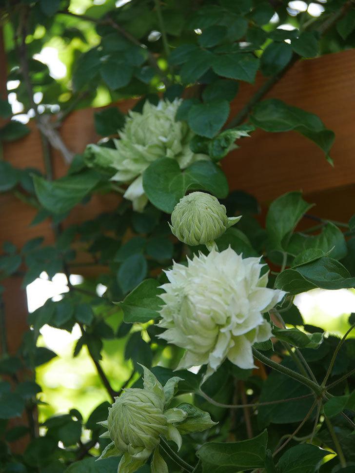 ダッチェス・オブ・エジンバラ(早咲き大輪系)の花が咲いた。2021年-018.jpg