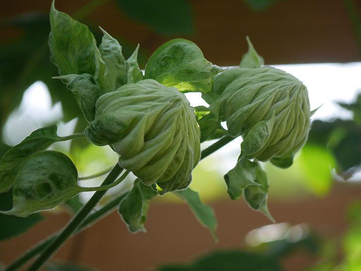 ダッチェス・オブ・エジンバラ(早咲き大輪系)の花が咲いた。2021年-021.jpg