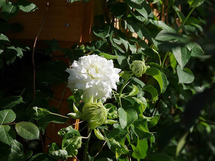 ダッチェス・オブ・エジンバラ(早咲き大輪系)の花が咲いた。2021年-022.jpg