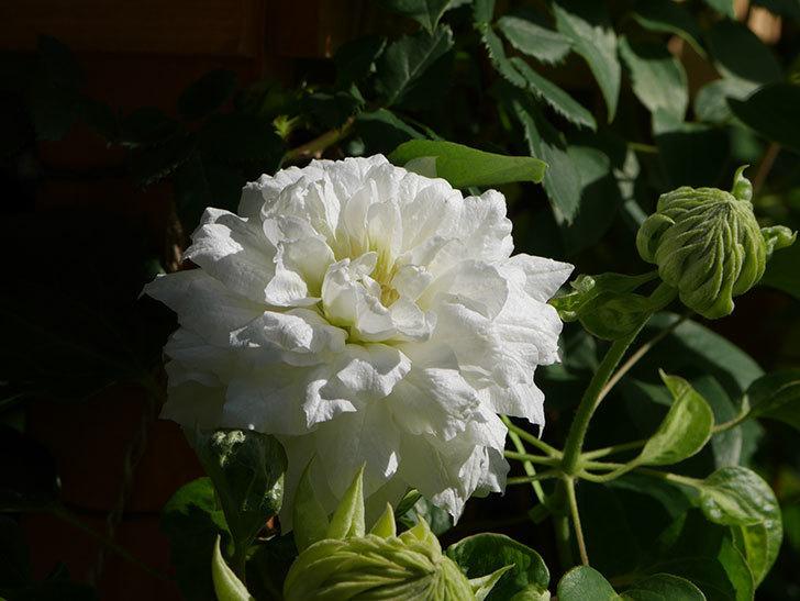 ダッチェス・オブ・エジンバラ(早咲き大輪系)の花が咲いた。2021年-023.jpg