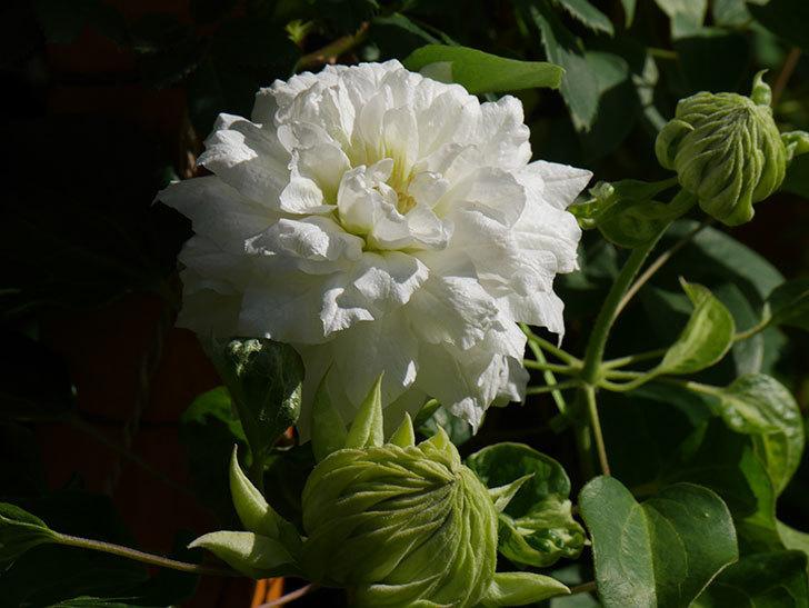 ダッチェス・オブ・エジンバラ(早咲き大輪系)の花が咲いた。2021年-024.jpg
