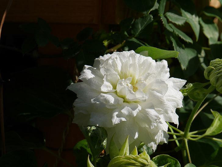 ダッチェス・オブ・エジンバラ(早咲き大輪系)の花が咲いた。2021年-025.jpg