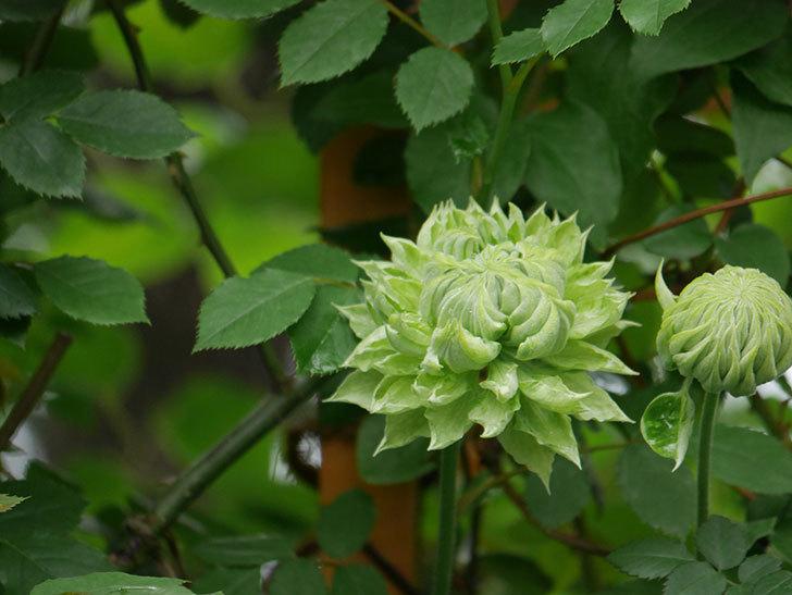 ダッチェス・オブ・エジンバラ(早咲き大輪系)の花が咲きだした。2021年-001.jpg
