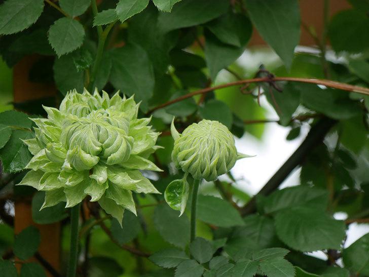 ダッチェス・オブ・エジンバラ(早咲き大輪系)の花が咲きだした。2021年-002.jpg