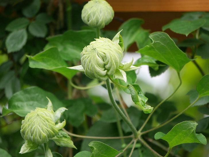 ダッチェス・オブ・エジンバラ(早咲き大輪系)の花が咲きだした。2021年-006.jpg