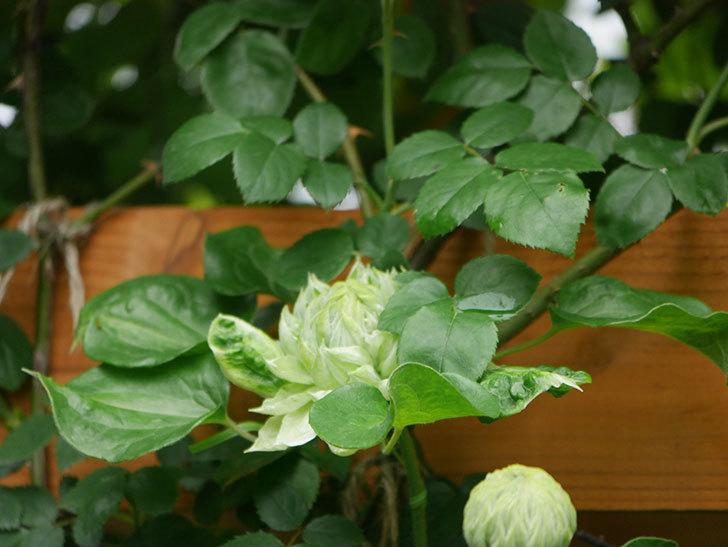 ダッチェス・オブ・エジンバラ(早咲き大輪系)の花が咲きだした。2021年-007.jpg