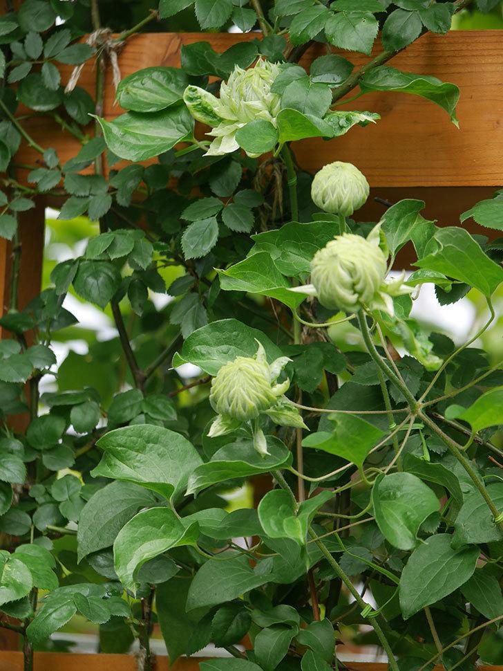 ダッチェス・オブ・エジンバラ(早咲き大輪系)の花が咲きだした。2021年-008.jpg