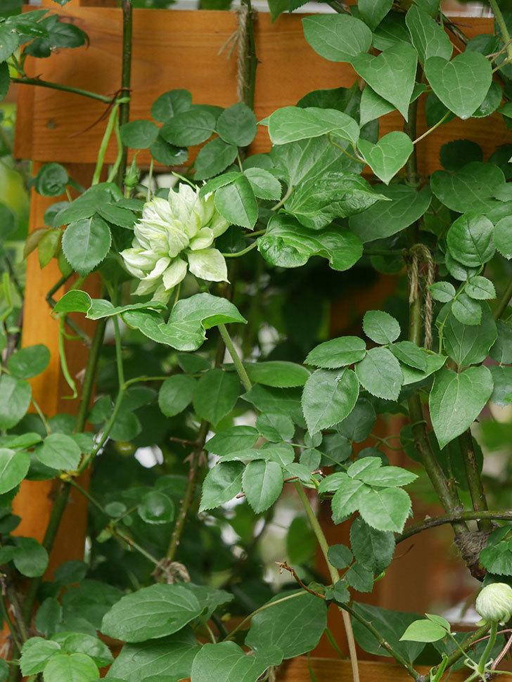 ダッチェス・オブ・エジンバラ(早咲き大輪系)の花が咲きだした。2021年-009.jpg