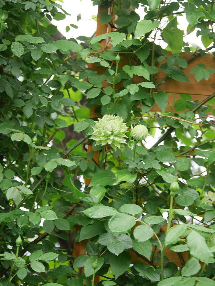 ダッチェス・オブ・エジンバラ(早咲き大輪系)の花が咲きだした。2021年-011.jpg