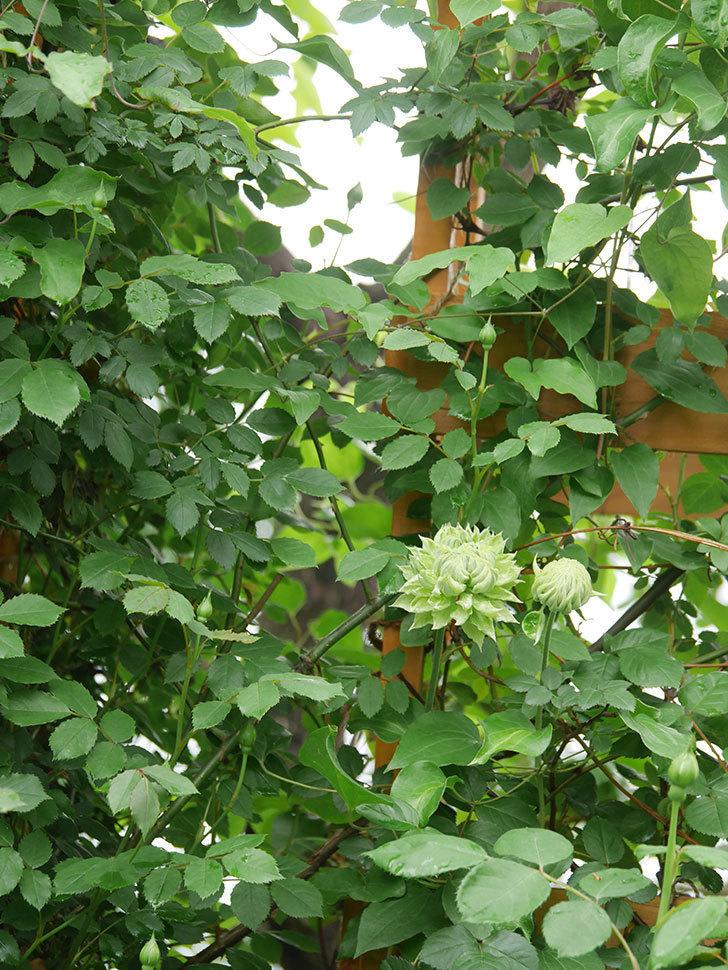 ダッチェス・オブ・エジンバラ(早咲き大輪系)の花が咲きだした。2021年-012.jpg