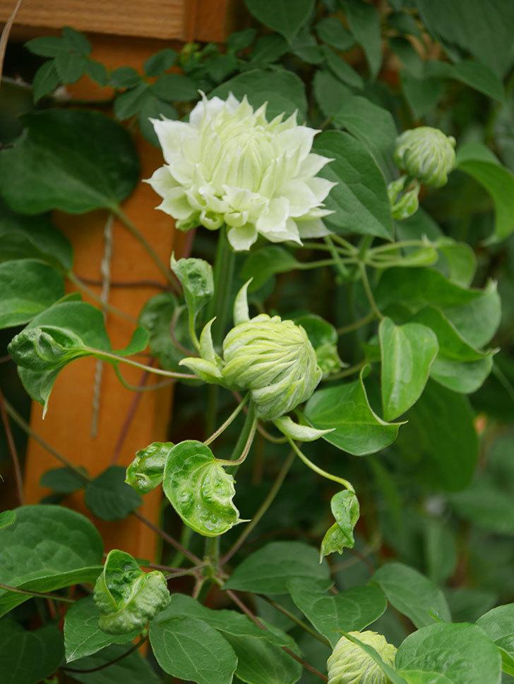 ダッチェス・オブ・エジンバラ(早咲き大輪系)の花が咲きだした。2021年-016.jpg