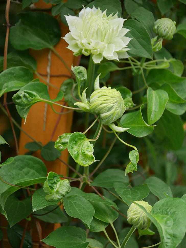 ダッチェス・オブ・エジンバラ(早咲き大輪系)の花が咲きだした。2021年-017.jpg