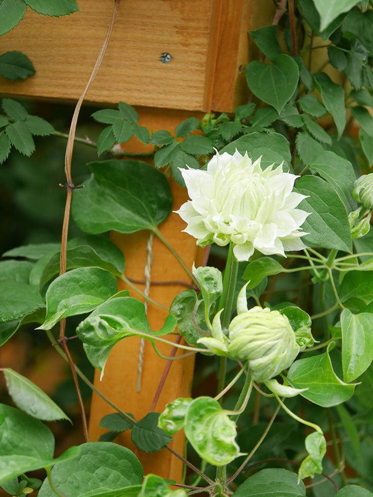 ダッチェス・オブ・エジンバラ(早咲き大輪系)の花が咲きだした。2021年-018.jpg