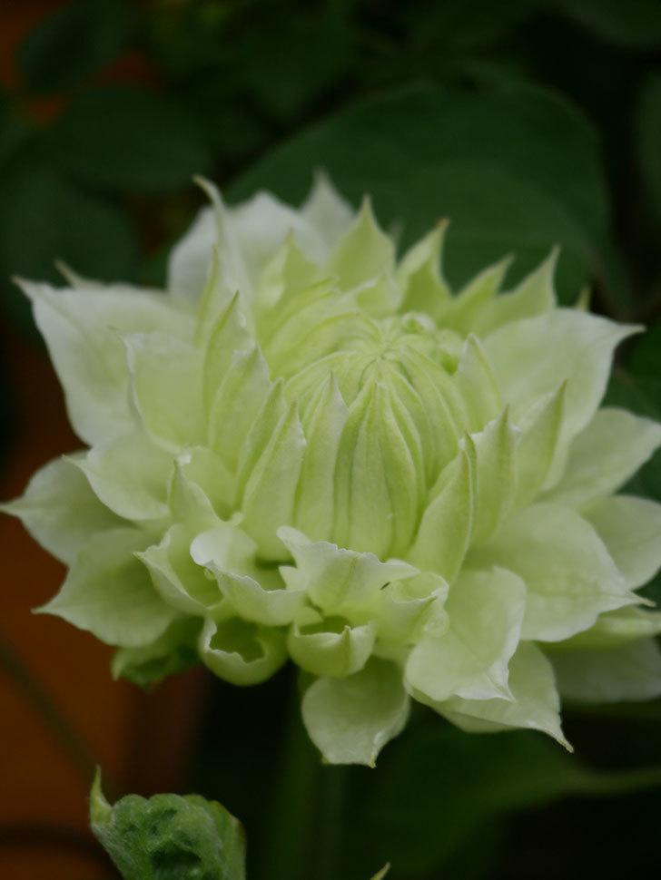 ダッチェス・オブ・エジンバラ(早咲き大輪系)の花が咲きだした。2021年-020.jpg