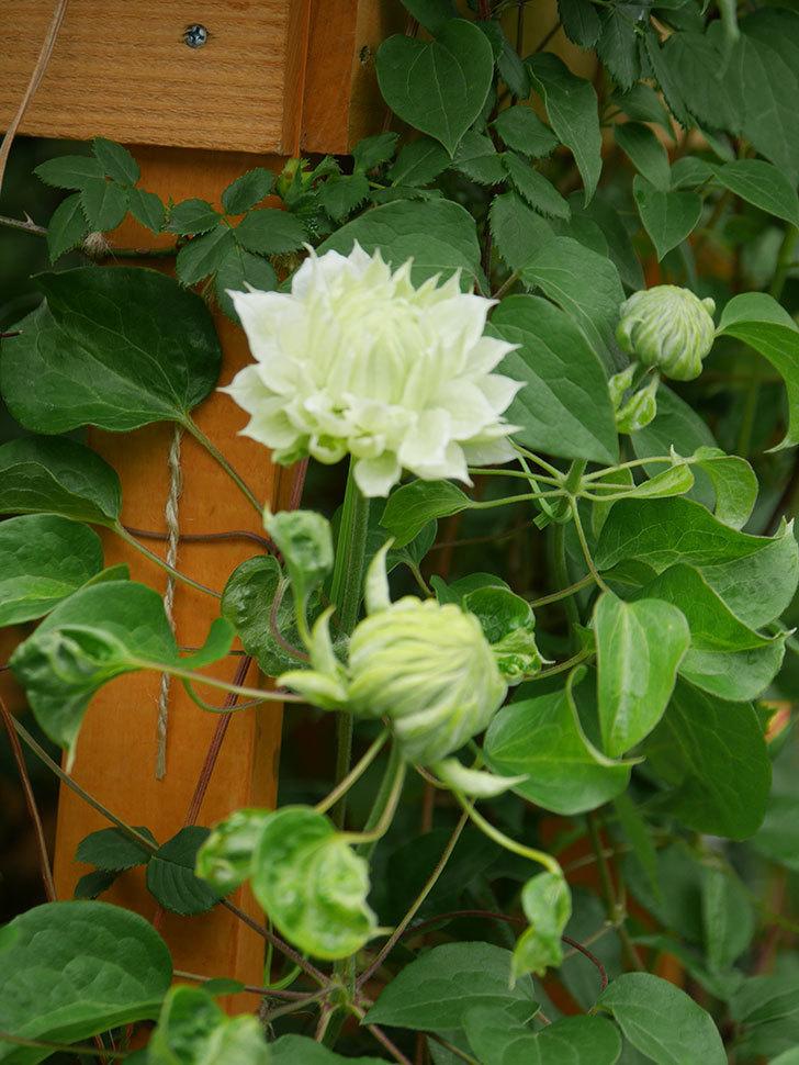 ダッチェス・オブ・エジンバラ(早咲き大輪系)の花が咲きだした。2021年-021.jpg