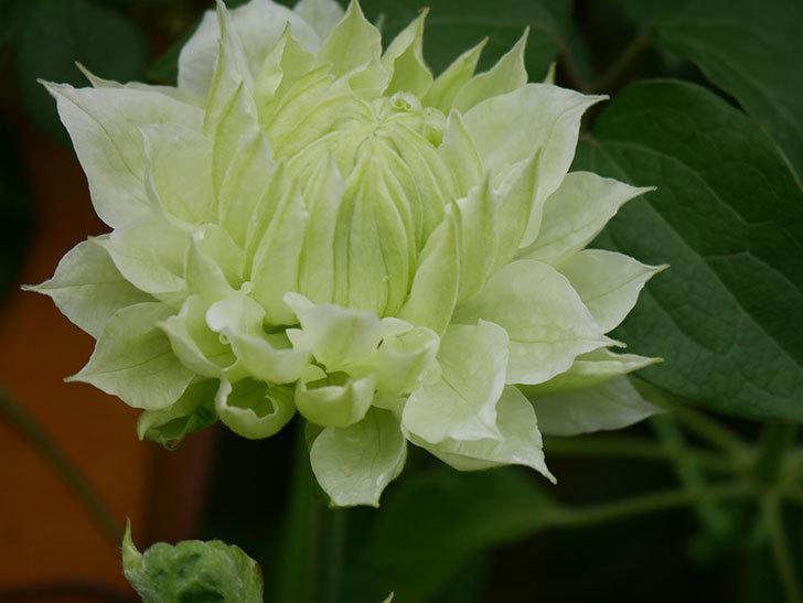 ダッチェス・オブ・エジンバラ(早咲き大輪系)の花が咲きだした。2021年-022.jpg