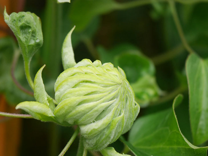 ダッチェス・オブ・エジンバラ(早咲き大輪系)の花が咲きだした。2021年-024.jpg