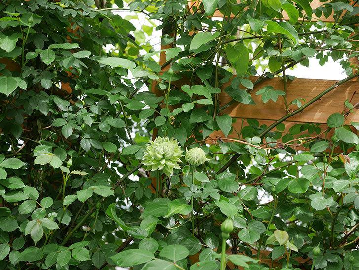 ダッチェス・オブ・エジンバラ(早咲き大輪系)の花が咲きだした。2021年-027.jpg