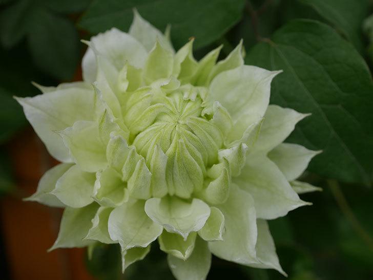 ダッチェス・オブ・エジンバラ(早咲き大輪系)の花が咲きだした。2021年-038.jpg