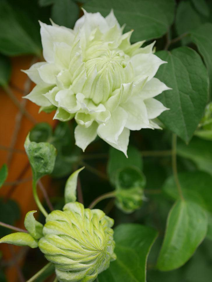 ダッチェス・オブ・エジンバラ(早咲き大輪系)の花が咲きだした。2021年-039.jpg