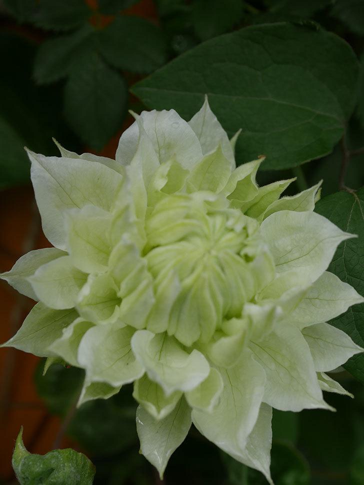 ダッチェス・オブ・エジンバラ(早咲き大輪系)の花が咲きだした。2021年-041.jpg