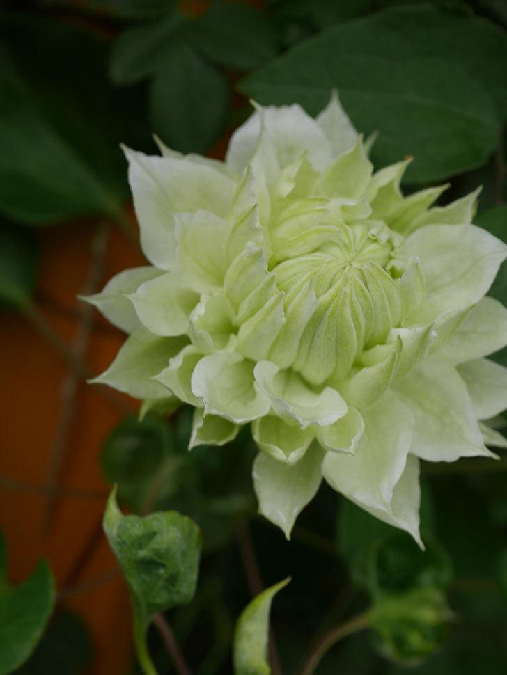 ダッチェス・オブ・エジンバラ(早咲き大輪系)の花が咲きだした。2021年-042.jpg