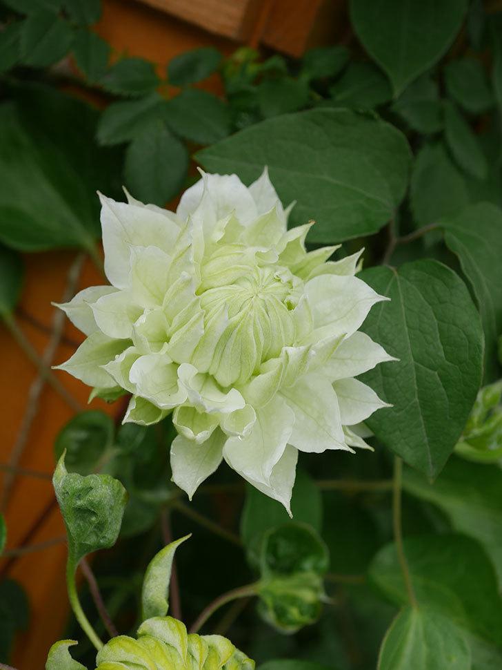 ダッチェス・オブ・エジンバラ(早咲き大輪系)の花が咲きだした。2021年-044.jpg
