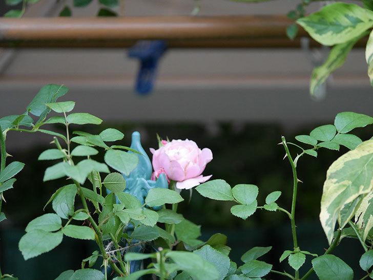 ダフネ(Daphne)の2番花がまた咲いた。半ツルバラ。2020年-001.jpg