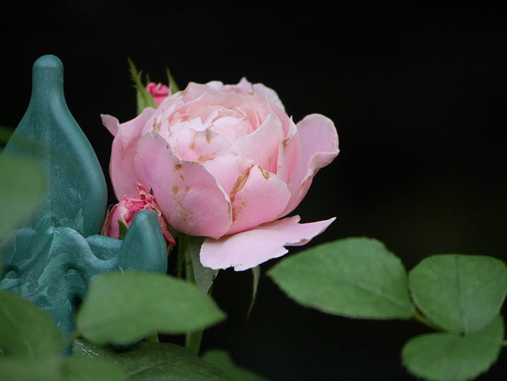 ダフネ(Daphne)の2番花がまた咲いた。半ツルバラ。2020年-002.jpg