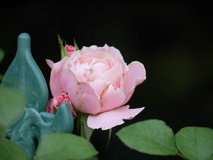 ダフネ(Daphne)の2番花がまた咲いた。半ツルバラ。2020年-004.jpg
