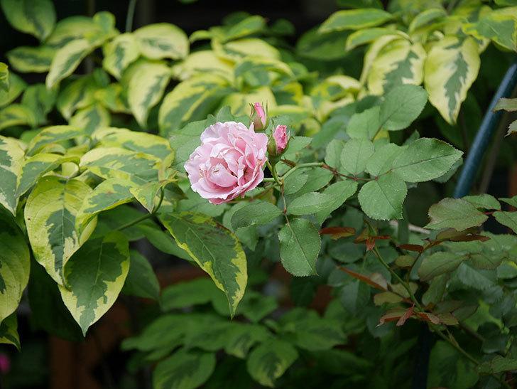 ダフネ(Daphne)の2番花が増えてきた。半ツルバラ。2020年-001.jpg
