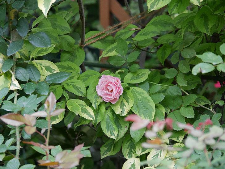 ダフネ(Daphne)の2番花が増えてきた。半ツルバラ。2020年-003.jpg
