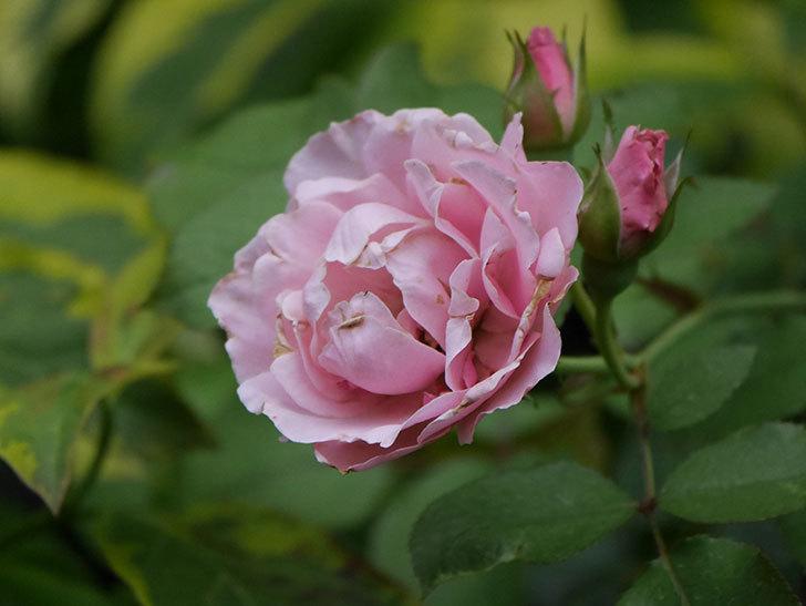 ダフネ(Daphne)の2番花が増えてきた。半ツルバラ。2020年-006.jpg