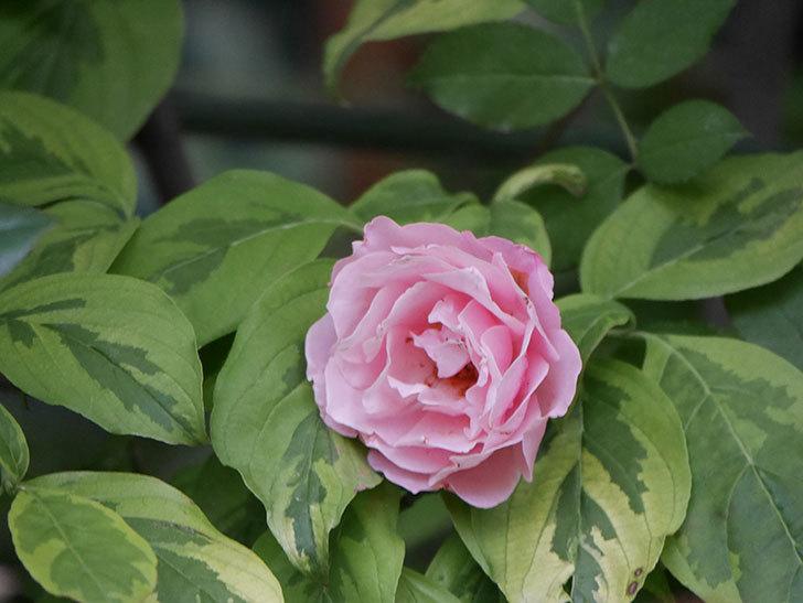 ダフネ(Daphne)の2番花が増えてきた。半ツルバラ。2020年-007.jpg