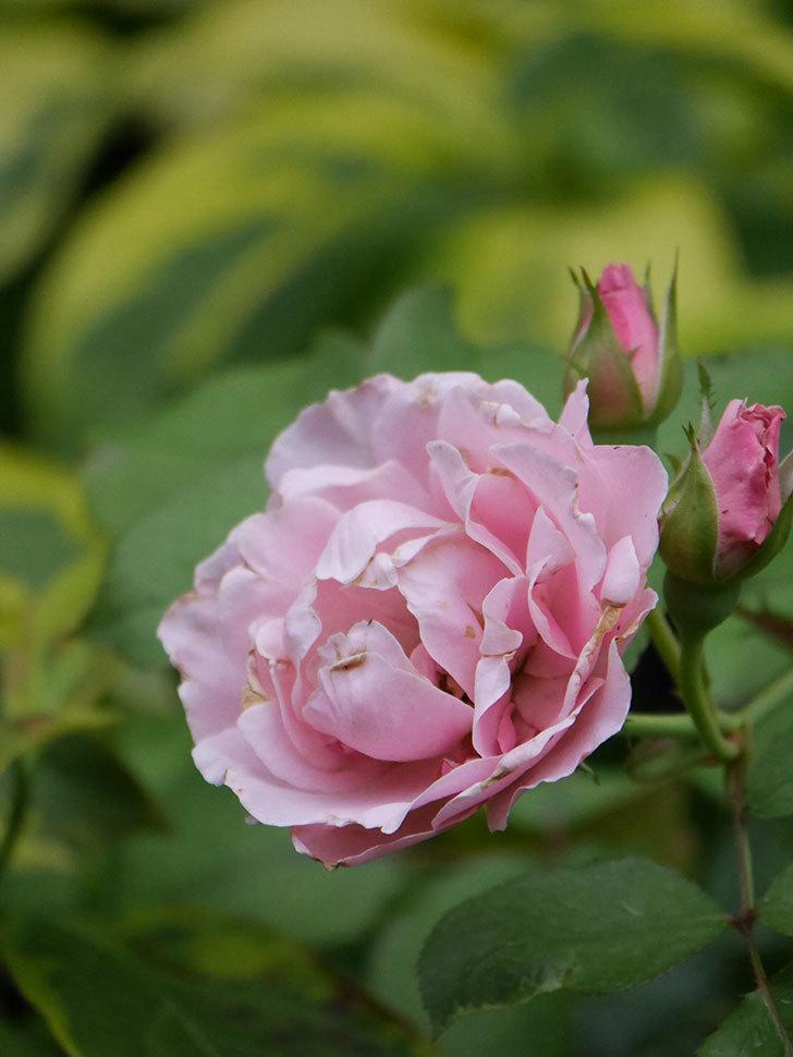 ダフネ(Daphne)の2番花が増えてきた。半ツルバラ。2020年-009.jpg
